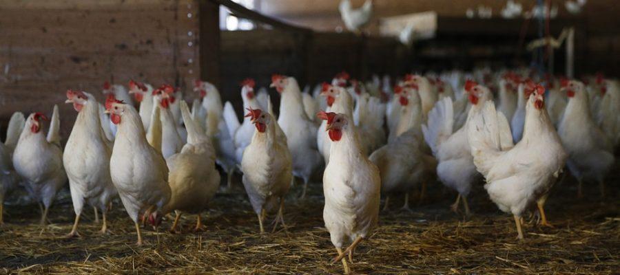 chicken-624977_960_720