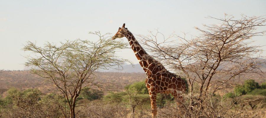 giraffe-2937507_1280
