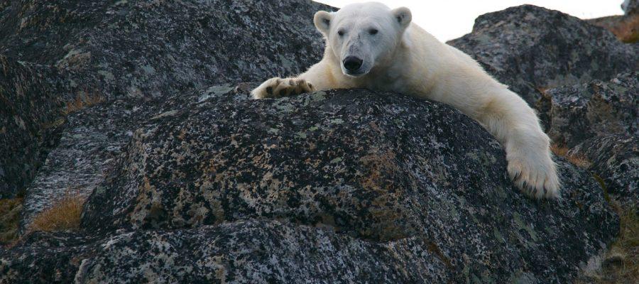 polar-bear-828995_1280